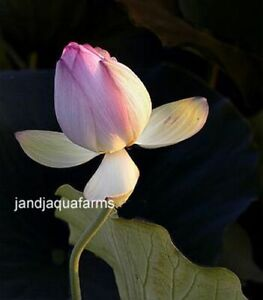 Sacred Lotus Tuber Nelumbo nucifera Giant Bog plants pond garden J&J Aquafarms