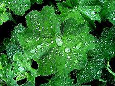 Frauenmantel (Alchemilla vulgaris) Wildpflanze, Tee, winterhart, weiße Blüte