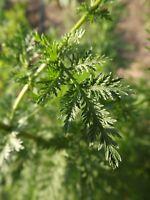 Beifuß - Qing hao - Artemisia annua - 200+ Samen Süße Heilpflanze!