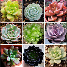 Bonsai Rare 60 PCS Seeds Succulent Garden Home Bulk Organic Ornament Plant NEW G