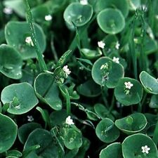 Purslane Winter - (Claytonia Perfoliata)- 100 seeds