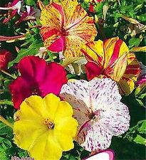 FD1797 Multicolored Jasmine Flower Seed Four O'clock Mirabilis Jalapa 20 Seeds *