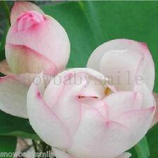 10 Mandarin Duck Lotus Seeds Water Lily Pad Nymphaea Nelumbo Nucifera Pond Plant