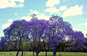 JACARANDA CUSPIDIFOLIA, BLUE rare flowering trumpet tree flamboyan seed 10 seeds