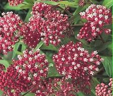 30+CARMINE ROSE (RED/WHITE) BUTTERFLY WEED FLOWER SEEDS