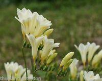 Freesia Alba 10 Seeds, F. Picta, Fragrant Wild Freesia, Garden Flowering Plants