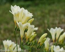 Freesia Alba 10 Seeds, F. Picta, Fragrant Wild Freesia, Garden Flowering Plants