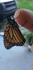 Tropical Milkweed Seeds 25+ Count, Save The Monarch Butterfly Organic