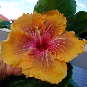 Hibiskus rosa sinensis Hibiscus ca 33 cm ab Erde
