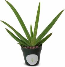 Live Aloe Vera Real garden house plant Succulent Aloe Barbadensis medicinal