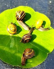 6 x lipped land snails Cepaea hortensi mixed colour