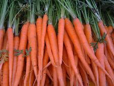 Carrot Tendersweet  Sweetest Carrot! A.A.S. Winner! 500+SEEDS COMBINED SHIPPING