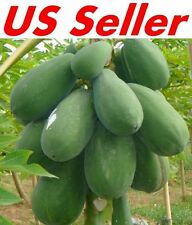 30 PCS Papaya Seeds E19, TR HOVEY Carica L. Caricaceae, Fruit Tree Seeds