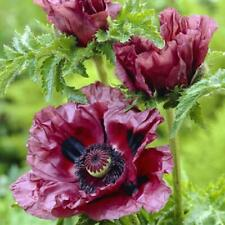 For poppy lovers and collectors Oriental Poppy /'Royal Wedding/' 20 Seeds