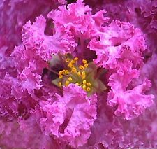 PURPLE FLOWERING CREPE MYRTLE SEEDS LAGERSTROEMIA INDICA SHRUB BULK TREE SEED