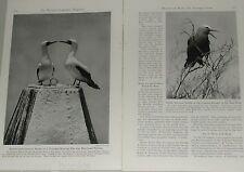 1947 magazine article, Dry Tortugas, Terns, Turtles, Florida