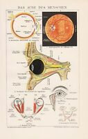 Das Auge des Menschen Iris Netzhaut Lid Anatomie Mensch Lithographie von 1895