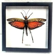 REAL ORANGE-WINGED GRASSHOPPER, TROPIDACRIS DUX TAXIDERMY IN BLK SHADOWBOX FRAME