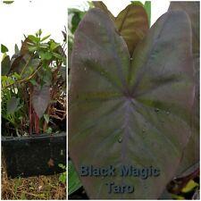 Black Magic Taro, bog plant, pond plant, Free Ship 5 plants