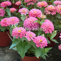 Zinnia Flower seeds Low Pink Flower Seeds from Ukraine