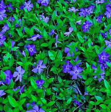 100 Rooted  Blue Periwinkle VINCA MINOR  Ground Cover Creeping Myrtle Vine