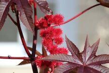 ☺8 graines de ricin commun rouge / castor seeds / bi ma zi
