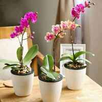 90 Seeds Pink Phalaenopsis Orchid Flower Home Garden Ornamental Unique Rare UK