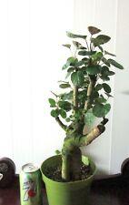 Fat Fabian Aralia for mame shohin bonsai tree indoor bonsai multiple listing