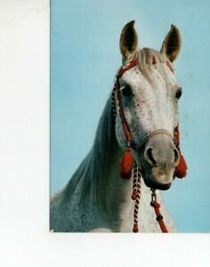 postcard: DAPPLE GRAY ARABIAN HORSE