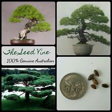 10+ JAPANESE RED PINE SEEDS (Pinus densiflora) Popular Evergreen Bonsai Korean