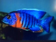 6 X Aulonacara Hans beanschi Red Flush - Tropical Fish - Cichlids  3-5cm