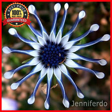 100PCs Rare Blue Daisy Plants Flower Seeds Exotic Ornamental Flowers Plant * USA