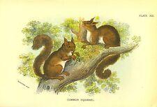 Rare 1896 Antique Mammal Print ~ Squirrel ~ Excellent Details!