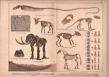 1878 lithographie originale fossiles squelette mastodonte géologie préhistoire