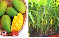 "KARTHKOLOMBAN Grafted Fruit Tree Plants 1"", 2"" Healthy plants Buy 1 Get 1 Free"