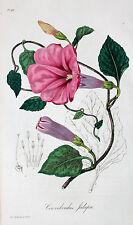 Convolvulus Jalapa Jalap Drug droga Messico Toxic jalappenwinde veleno fioritura Poison