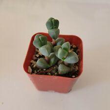 Corpuscularia Lehmannii Rare Succulent Plant Shown in 2