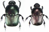 Mexico Insect CETONIDAE Inca clathrata sommeri Pair 50mm+ ....!!