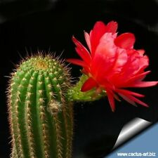 Red Torch Cactus Seed Spectacular Flowerer Arid Living