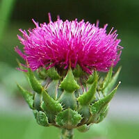 100 Purple MILK THISTLE Silybum Marianum Flower Seeds