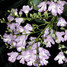 Victorian Christmas Bush Seed Aromatic Shrub Frost Resistant