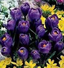 """10 X """"DELFT'S BLUE HYACINTH"""" SPRING FLOWERING SCENTED BULBS. EASY TO GROW."""