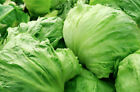 LETTUCE 150+ seeds 'Iceberg' vegetable seeds garden EASY TO GROW beginners
