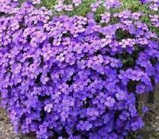 50+  Lilac Aubrieta Rock Cress Flower Seeds / Perennial