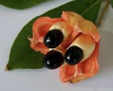 7 Jamaica Ackee Seed (Blighia Sapida)