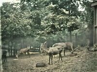1908 Washington DC National Zoo Deer Antique Photo Glass Plate Negative