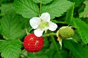 RARE, NATIVE, ATHERTON RASPBERRY PLANT,BUSH TUCKER,RUBUS PROBUS,FRUIT TREE