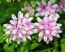 50 Coronilla Varia Seeds Crown Vetch Ornamental Garden Flowers