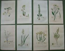 Baxter 8 Antique Prints Yellow Flowers Saxifraga Stonecrop Hand Coloured 1839