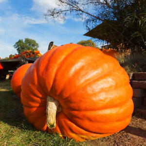 10 Atlantic Giant Pumpkin Seeds Organic Non Gmo Vegetable Seed Up To 1500 Pounds
